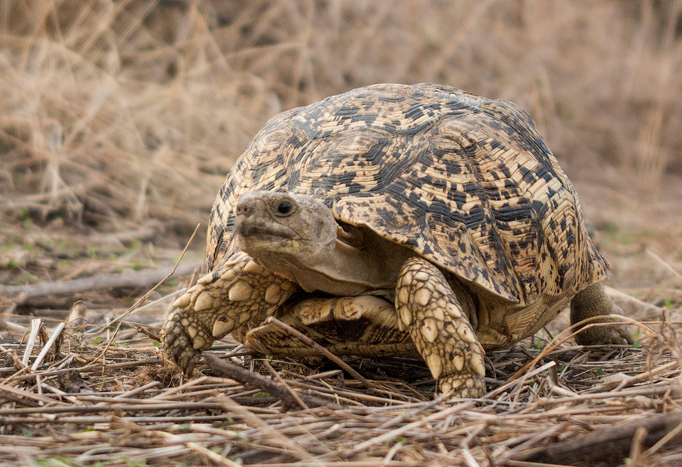 леопардова черепаха