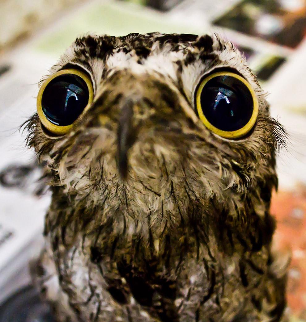 Урутау — ночная хищная птица