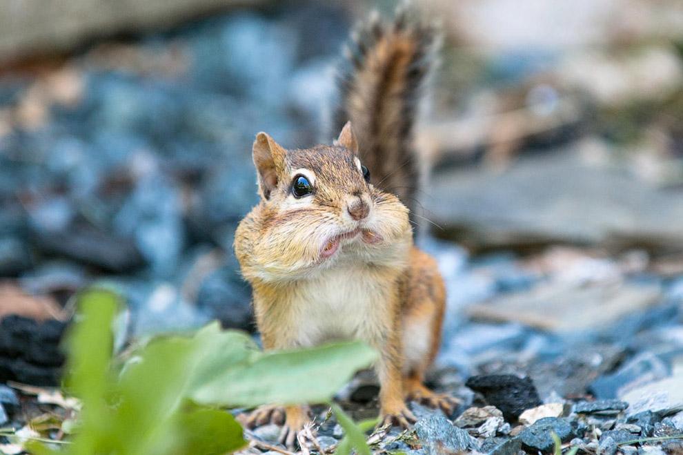 Удивленный бурундук с полным ртом арахиса