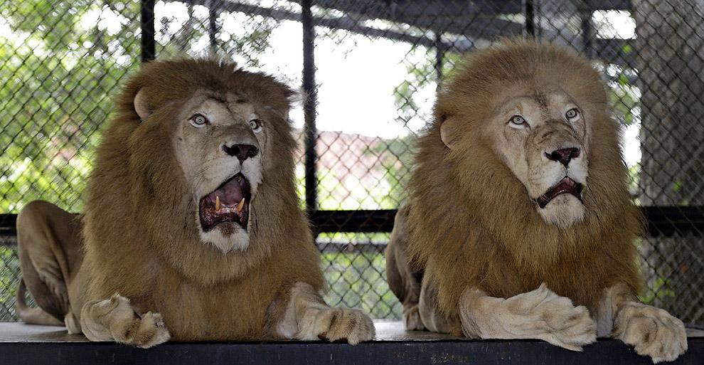 Львы тоже в шоке