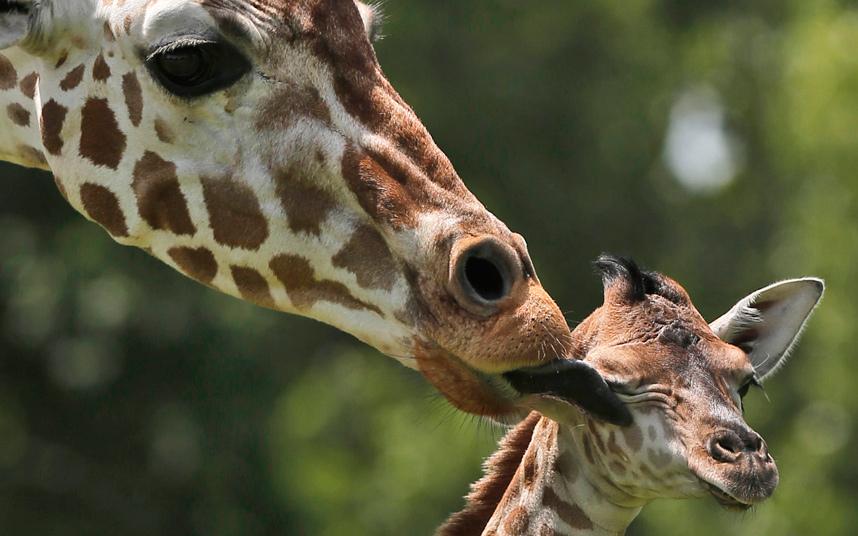 Новорожденный жираф в зоопарке в Оклахома-Сити