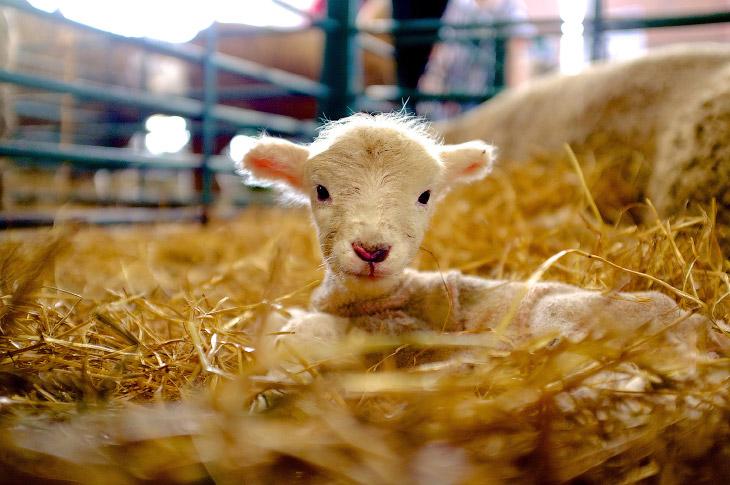 Новорожденный барашек