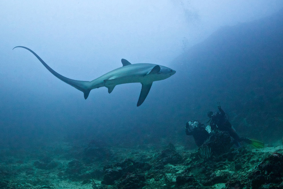 Пелагическая лисья акула или морская лисица