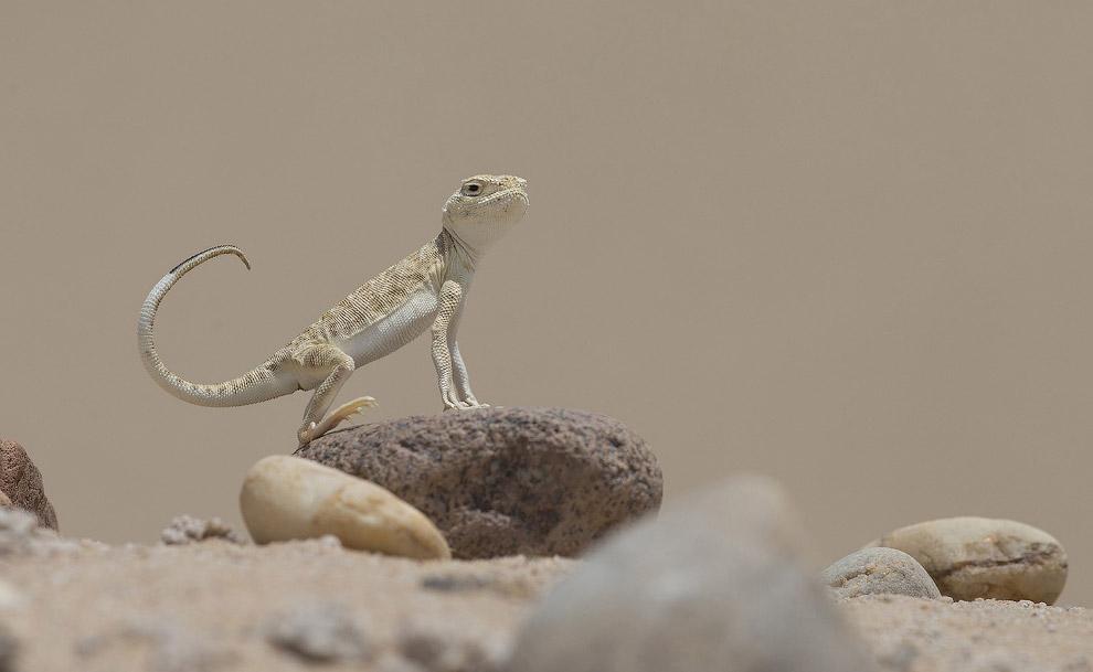 Гордая ящерица–круглоголовка в Кувейте