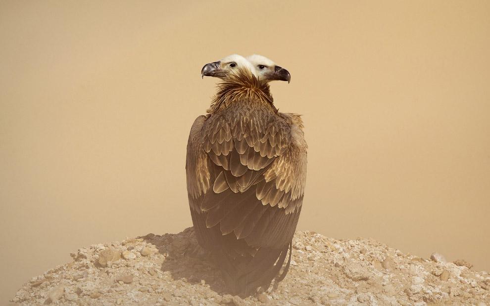 Двуглавый орел, Кувейт