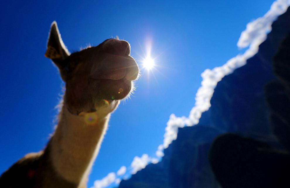 Дружелюбная лама в Мачу-Пикчу