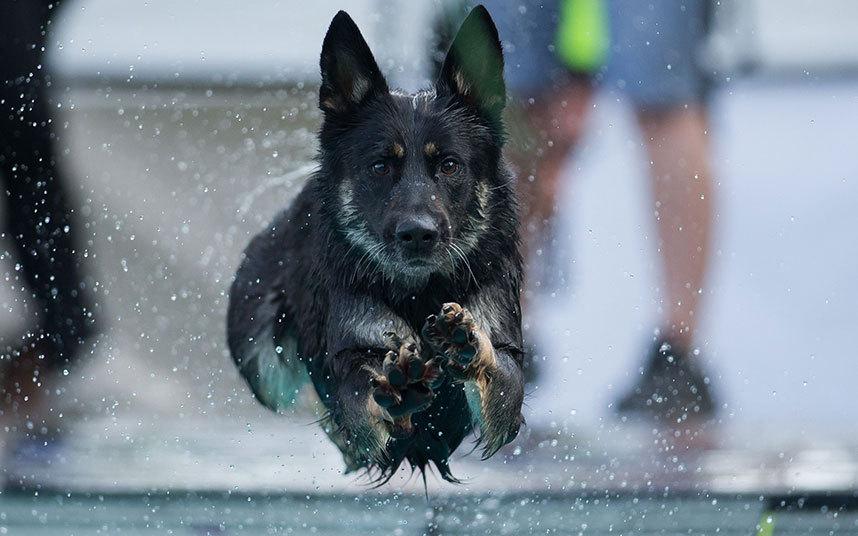 Собака прыгает в бассейн во время соревнований четвероногих друзей по заплыву в Будапеште