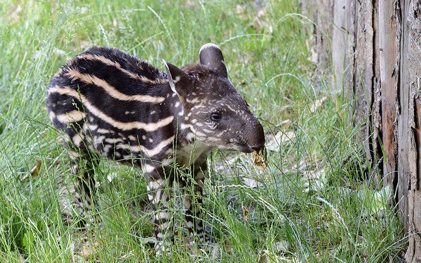 Новорожденный тапирчик в Пражском зоопарке, Чехия