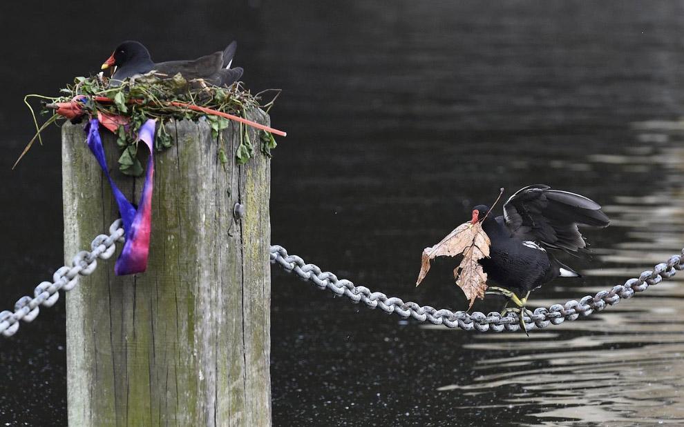 Камышница или болотные курочки строят гнездо у озера в Лондоне