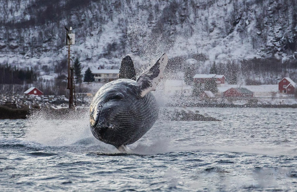 40-тонный горбатый кит в Норвегии