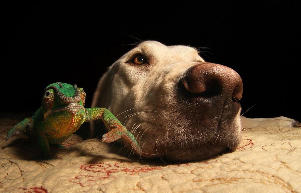 Лабрадор и хамелеон неожиданно для всех нашли общий язык и подружились