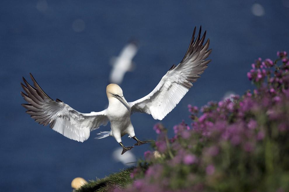 Морская птица в Бридлингтоне, Англия