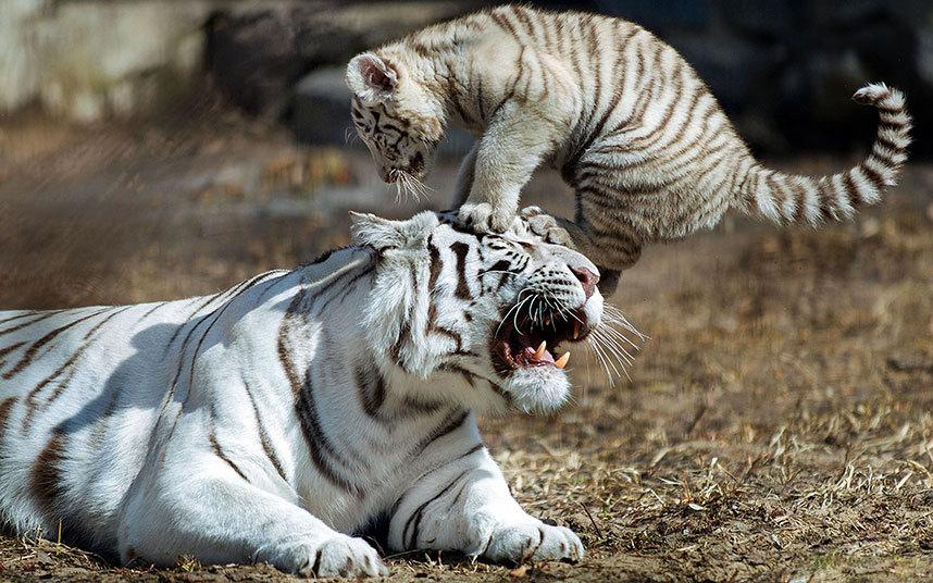 Бенгальский тигренок в Новосибирском зоопарке, Россия