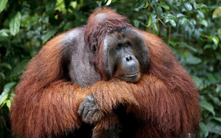 Орангутанг в лесах Индонезии