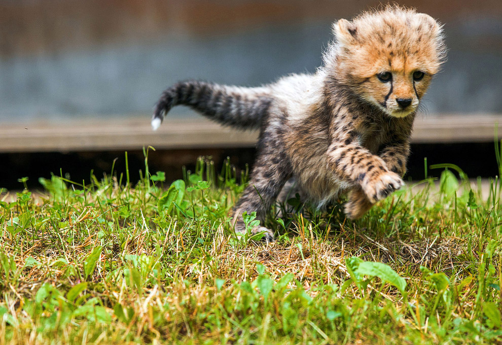 Маленький гепард в зоопарке Германии