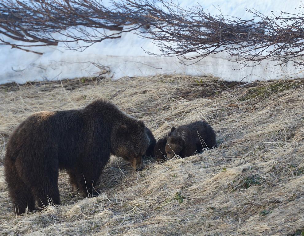 Жизнь медведей на Камчатке