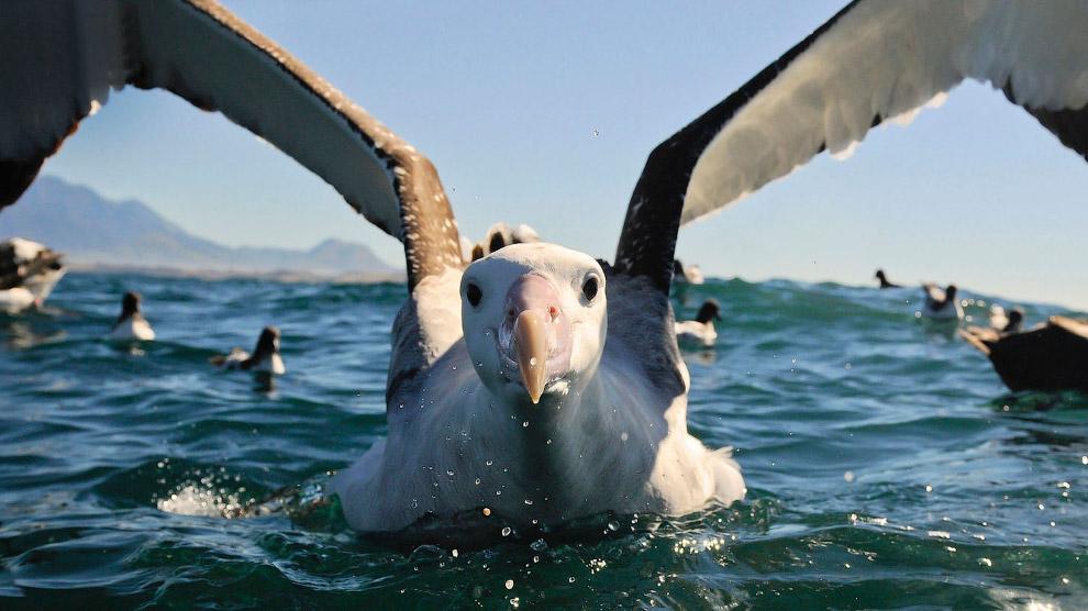 Странствующий альбатро