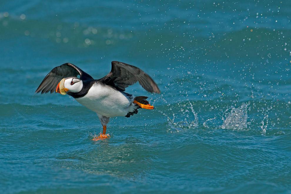 Морская птица тихоокеанский топорок