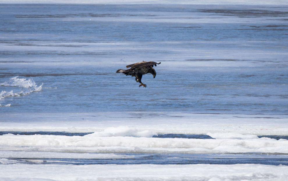 Лысый орел