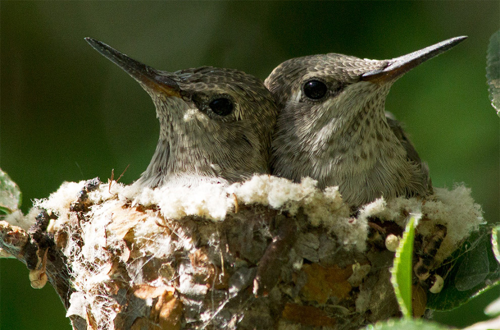 Птенцы колибри