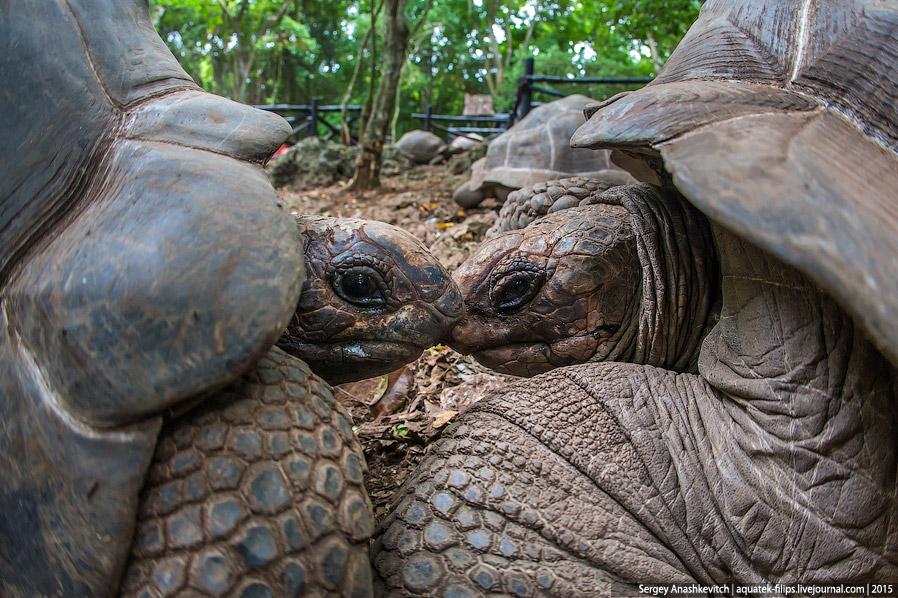 Сейшельские черепахи
