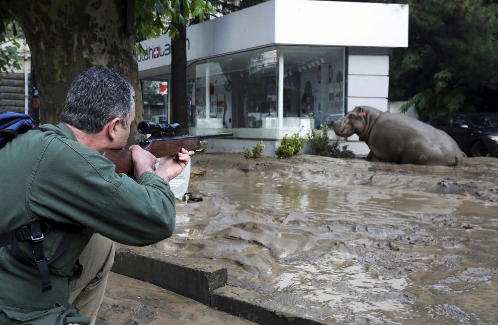 Человек стреляет транквилизатором, чтобы усыпить сбежавшего бегемота