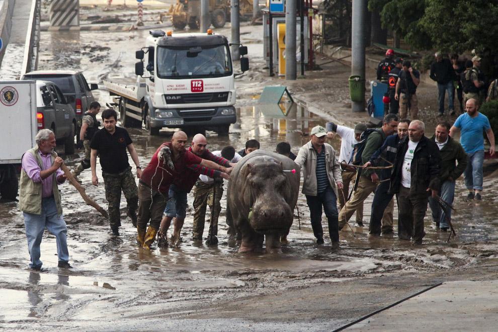 Бегемоту с транквилизатором помогают выбраться из грязи
