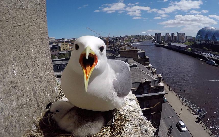 Морская птица прогоняет назойливого фотографа, который залез наверх моста к ее гнезду
