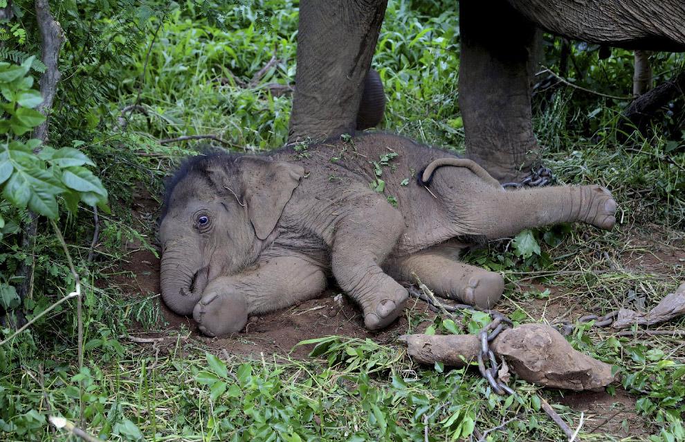 16-дневный слоненок в Национальном парке к югу от Бангалора, Индия