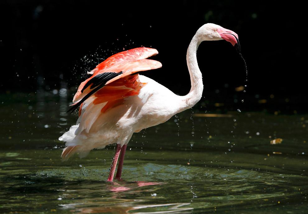 Розовый фламинго в зоопарке в Вуппертале, Германия