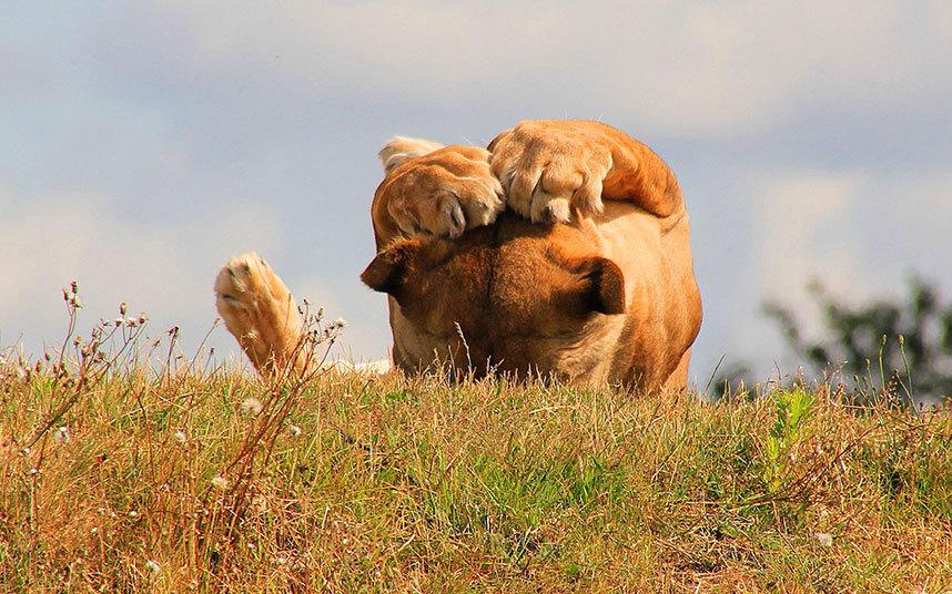 Львица закрывает глаза лапами от солнца в парке дикой природы в Йоркшире