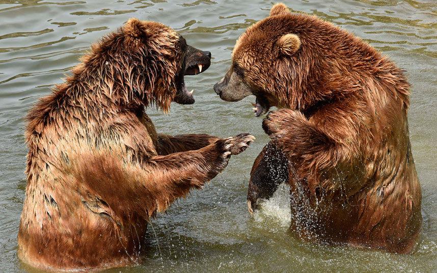 Два камчатских бурых медведя в зоопарке в Германии