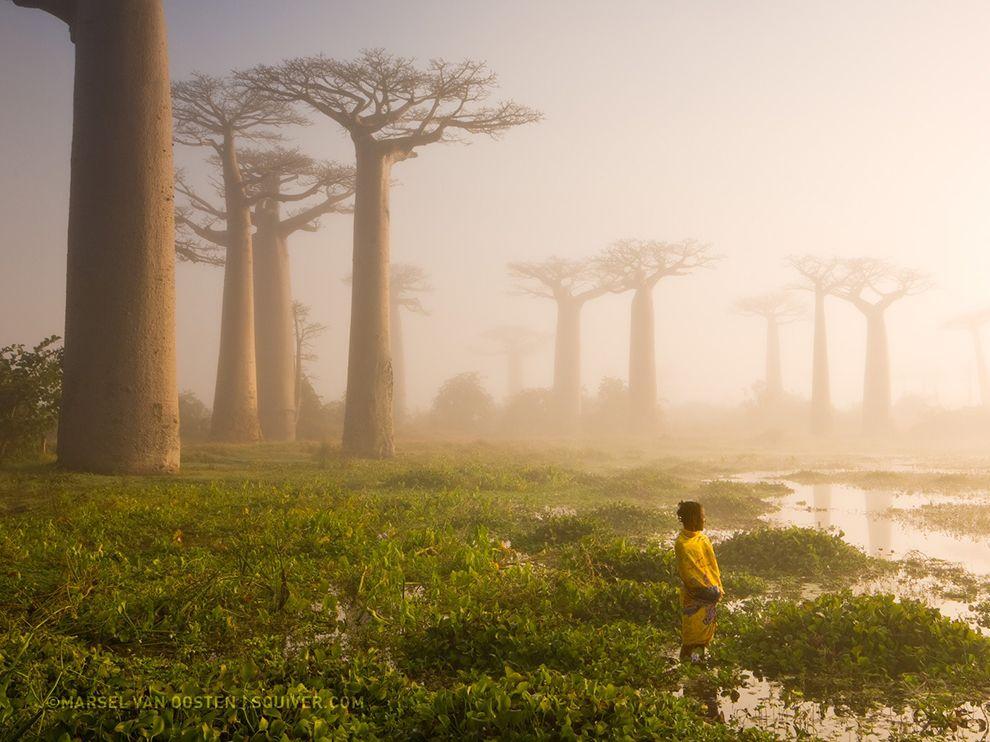 Лес баобабов на Мадагаскаре