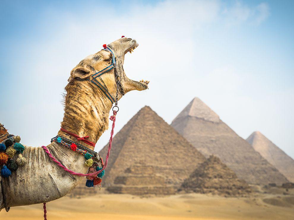 Сонный верблюд, Египет