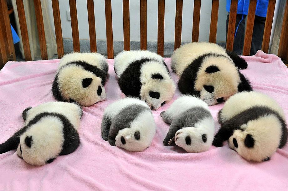 Сончас в питомнике для панд