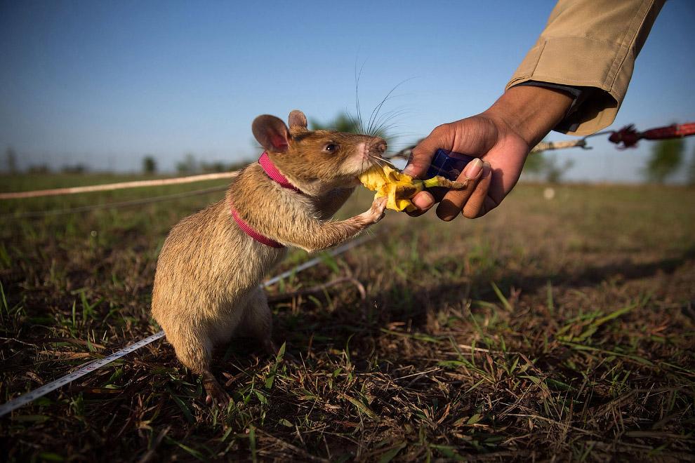Крыса-сапер получает в награду банан после успешно выполненного задания