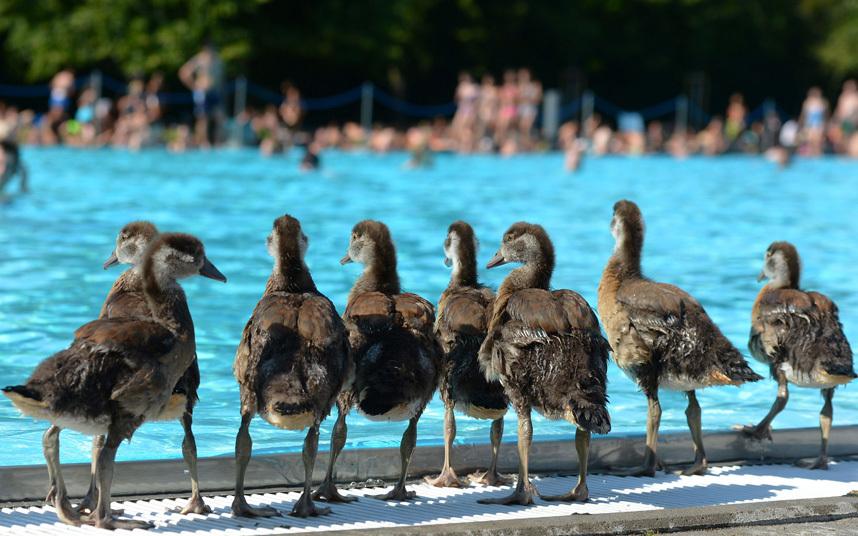 Гусята на краю бассейна во Франкфурте