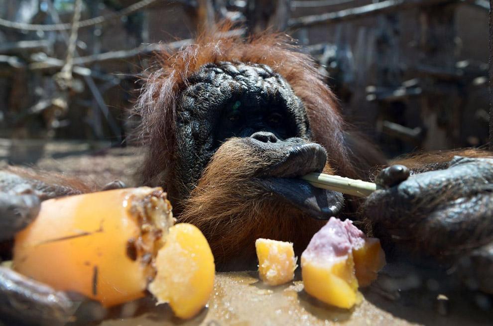 Орангутанг ест фруктовый эскимо в Римском зоопарке