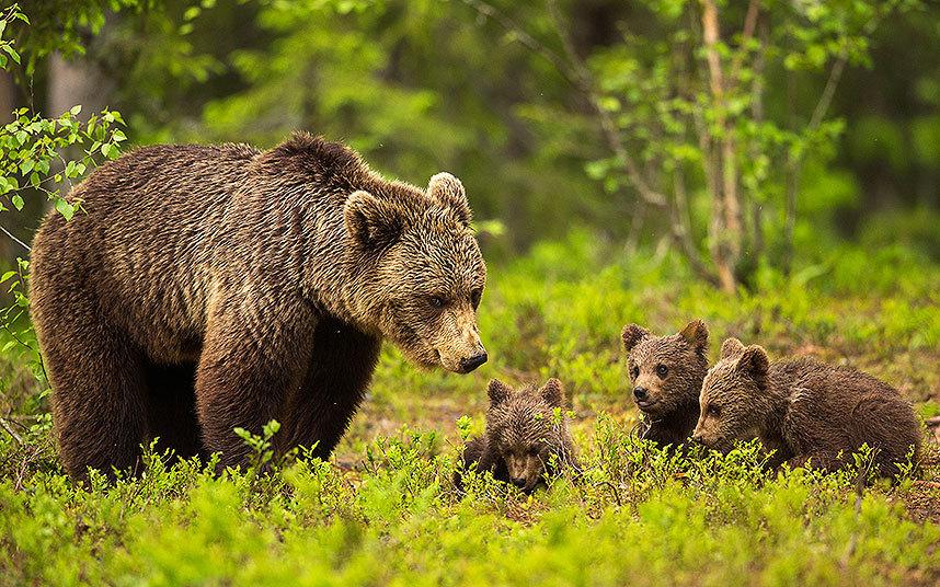 Мать-медведица с медвежатами в Восточной Финляндии
