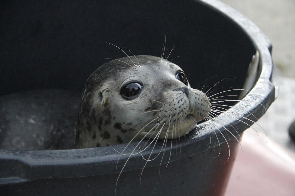Молодой тюлень, Германия