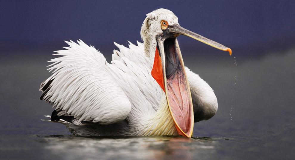 Кудрявый пеликан охотится за рыбой на озере Керкини в Греции
