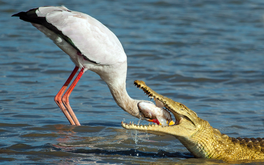 Аист во время рыбалки крокодил на озере в Танзании