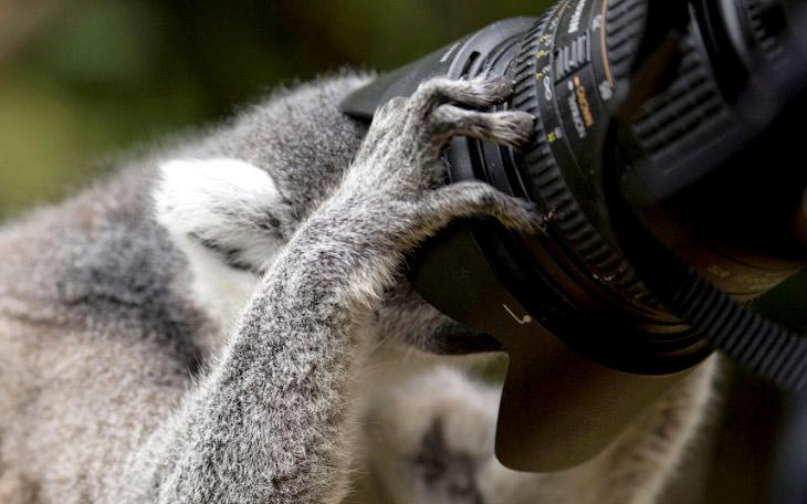 Лемур осматривает камеру в Эдинбургском зоопарке