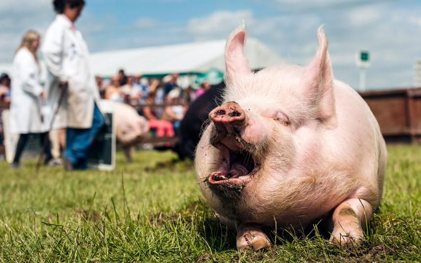 Соревнования в Йоркшире, Англия под названием «Человек и его свинья»
