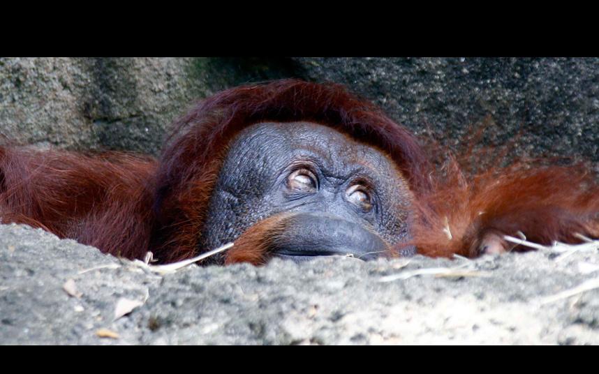 Орангутанг в зоопарке в штате Миссисипи
