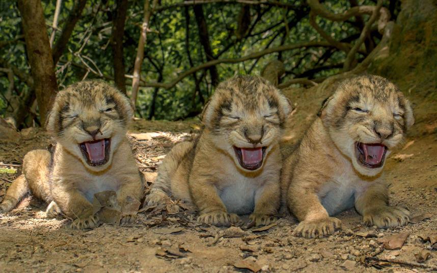 Львята возле своего логова в Индии