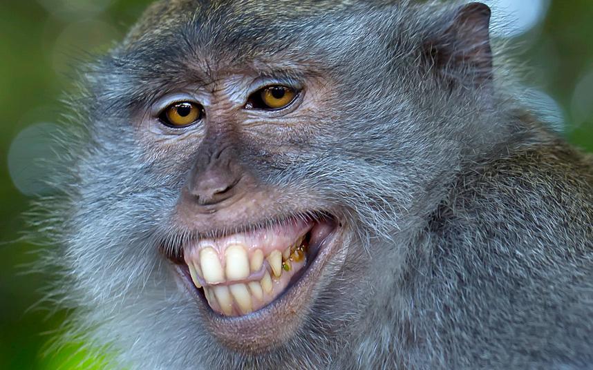 Длиннохвостая макака улыбается на камеру в Индонезии