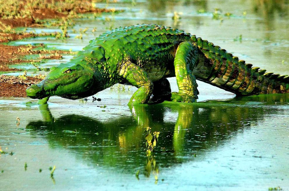 Крокодил, покрытый водорослями, в Национальном парке Крюгера, Южная Африка
