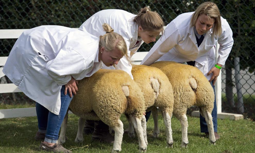 Ветеринары изучают овец