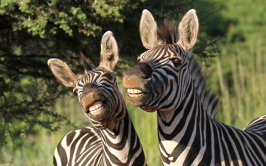 Зебры в заповеднике в Южной Африке